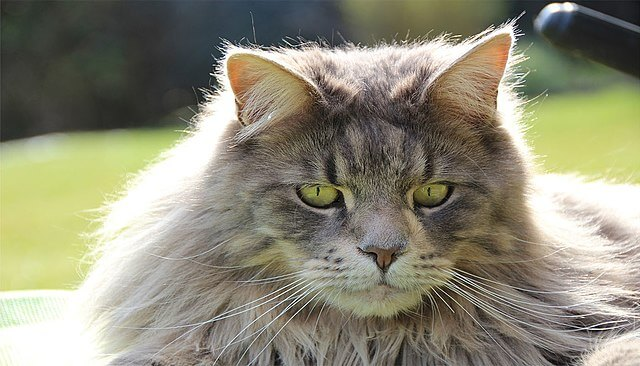 gatto-maine-coon