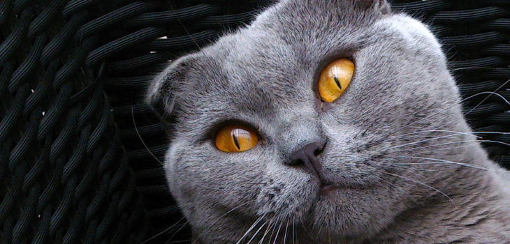gatto-Scottish-Fold